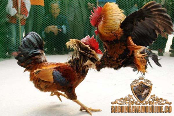 sejarah sabung ayam, judi, ayam aduan, indonesia