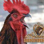Terbukti! Cara Ampuh Tambah Kekuatan Pukulan Ayam Bangkok
