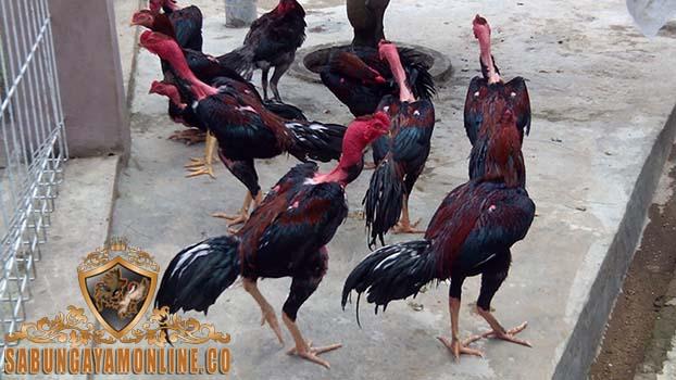 ayam saigon, sabung ayam, agen sabung ayam