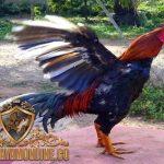 ayam bangkok, bulu ayam bangkok, cara, tips, ampuh, cepat