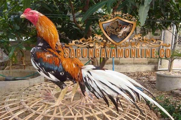 ekor ayam bangkok, ekor ayam, pukul badan, pukul dada, ayam laga, ayam aduan, ciri khas, tips