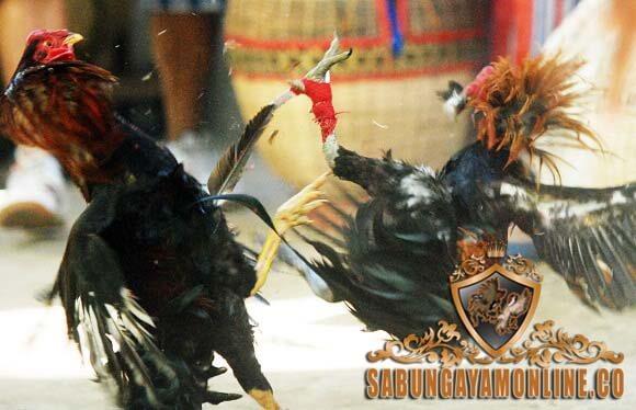 ayam bangkok, ayam laga, ayam aduan, laga ayam, gaya bertarung