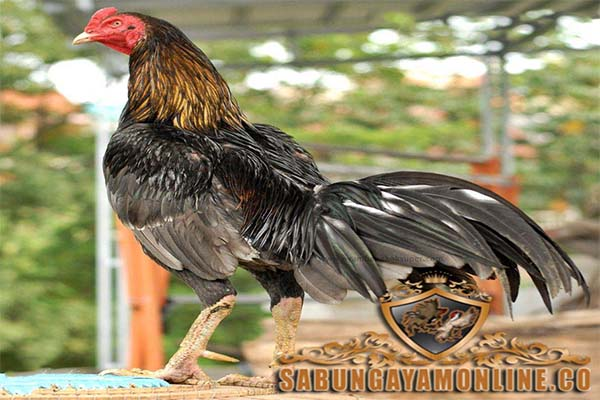 kaki ayam bangkok, ayam bangkok, sisik, katuranggan, jalu, taji, sabung ayam online