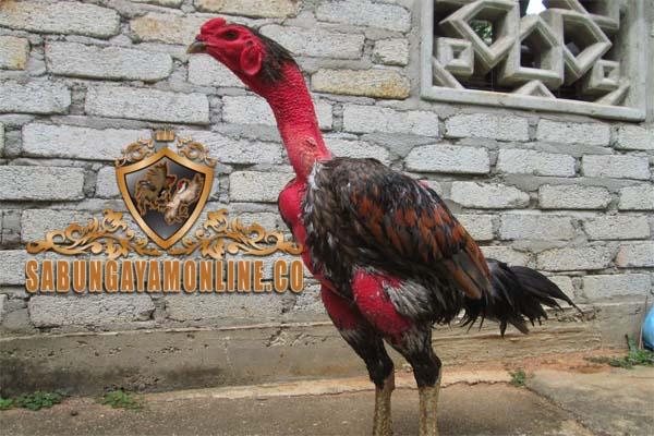 kelebihan dan kekurangan, ayam saigon, ayam bangkok, sabung ayam online, agen sabung ayam, agen sabung ayam online, agen betting terpercaya