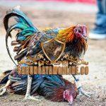 ayam aduan, ayam bangkok, hari baik, pantangan, primbon jawa, tips