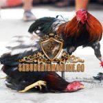 ayam saigon, ayam bangkok, ayam birma, ayam petarung, ayam aduan, terbaik
