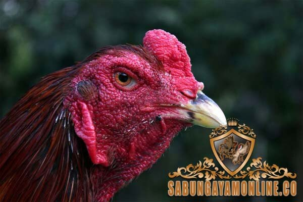 ayam bangkok, mata, ciri khas, berkualitas