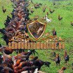 ternak, breeding, ayam petarung, ayam aduan, cara, metode, tips