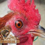 jengger ayam bangkok, ayam laga, ayam hias, ayam aduan