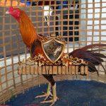 ayam bangkok asli, palsu, campuran, ciri khas, tips, ayam aduan, ayam laga
