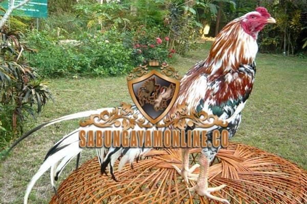 ayam bangkok, terbaik, tak terkalahkan, terkuat, ayam petarung, ciri