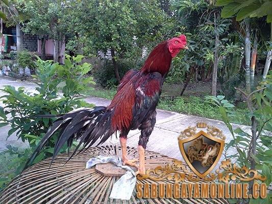 ayam bangkok, pukul, ayam petarung, ayam aduan