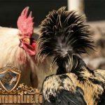 Taksiran Harga, Ayam bangkok, Ayam aduan