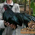 ayam black sumatera, ayam bangkok, ayam petarung, ayam aduan, ciri khas