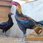 ayam peru, peruvian, ayam aduan, ayam petarung