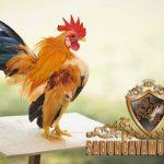 ayam serama, ayam hias, unik, ciri khas