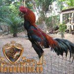 Jenis Pakan, Usia Ayam, Ayam Bangkok, Ayam Aduan