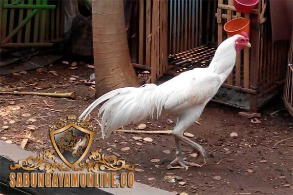ayam bangkok putih, ayam kinantan, ayam bangkok, mitos