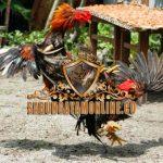 ayam aduan, istimewa, ciri khas, kelebihan, jenis, ayam petarung