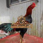 cara, perawatan, ayam birma, ayam petarung, ayam bangkok, tips
