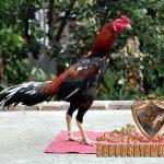 ciri khas, ayam petarung unggulan, ayam bangkok, ayam saigon, kelebihan, ayam aduan