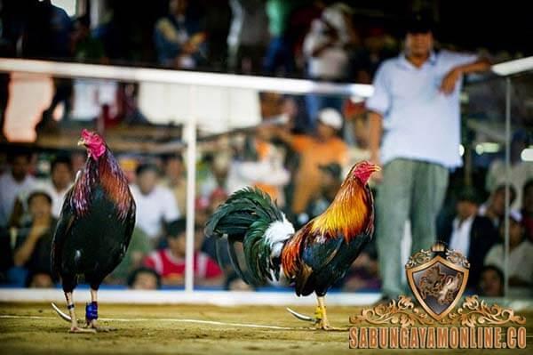 sabung ayam filipina, dunia sabung ayam, taji, jalu