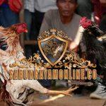 ayam aduan, ayam bangkok, ayam petarung, ciri, tanda, tanda ayam aduan siap tarung