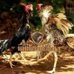 ciri khas, ayam siam, ayam aduan, ayam petarung, kelebihan