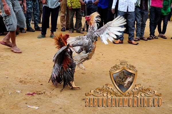 ciri khas ayam jalon, ayam petarung, ayam aduan, jalu, taji, teknik, tipe, ciri khas, kelebihan