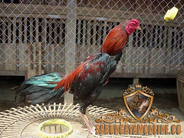 keunggulan ayam ciparage, ayam petarung, ayam aduan, keunggulan, ciri khas, asli indonesia, kelebihan