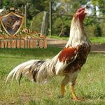 membuat ayam bangkok lebih galak, ayam petarung, ayam aduan, ayam laga, metode latihan, cara, tips