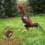 ciri utama ayam shamo, ayam shamo, ayam petarung, ayam aduan, ayam bangkok, ciri khas, kelebihan