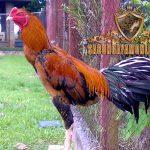 ayam aduan, ayam bangkok, ayam hias, ayam petarung, ciri khas, kelebihan, wiring kuning