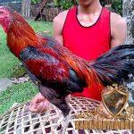 ciri khas, ayam bangkok super, ayam aduan, ayam petarung, kelebihan