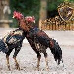 teknik brakot, ayam bangkok, ayam petarung, ayam aduan, teknik bertarung, gaya bertarung, ciri khas, kelebihan, latihan ayam