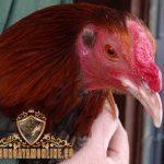 tips merawat paruh, ayam aduan, ayam petarung, ayam bangkok, cara, paruh, sisik, kaki