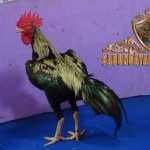 perbedaan, ayam birma kaisar, ayam birma, ayam aduan, ayam petarung, ayam bangkok, ciri khas, kelebihan