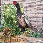 jenis, ayam aduan asil, ayam petarung, ayam aduan, ciri khas, kelebihan