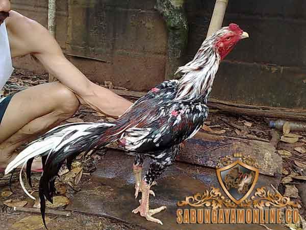 ayam bangkok istimewa, blorok madu, jenis, ciri khas, kelebihan