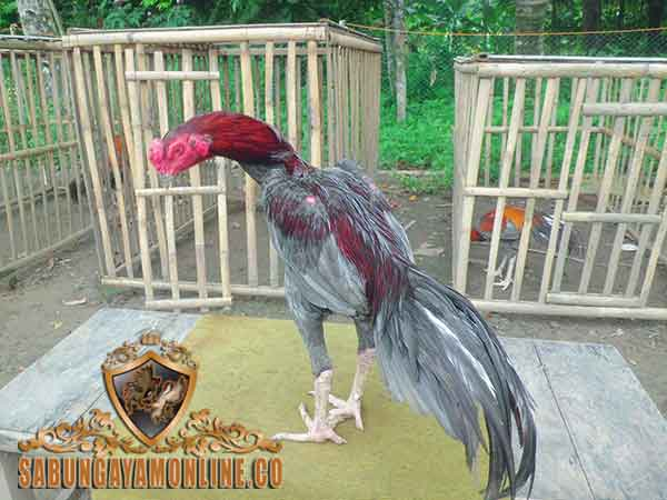 ayam bangkok klawu, ciri khas, kelebihan, kekurangan, jenis, ayam bangkok, ayam petarung, ayam aduan