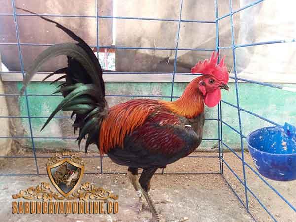 ciri utama ayam peruvian, ayam peru, ayam petarung, ayam aduan, kelebihan