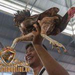 lokasi sabung ayam taji, ayam petarung, ayma aduan, ayam laga, tajen, bali