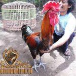 ciri khas ayam pelung, ayam aduan, ayam petarung, ayam bangkok, kelebihan