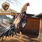 faktor utama, penentu kualitas, ayam aduan, ayam aduan, ayam bangkok, ciri khas, ciri fisik, jenis, keturunan, katuranggan
