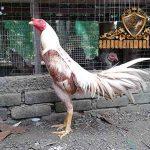kemampuan, ayam petarung siam, ayam bangok, ayam aduan, ayam petarung, ciri khas, kelebihan