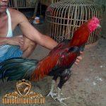 mengenal kelebihan dan kekurangan ayam bangkok, kelebihan, kekurangan, ayam bangkok, ayam aduan, ayam petarung, ciri khas