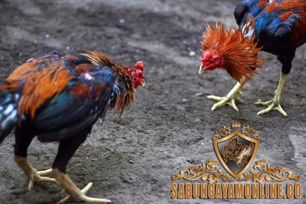 cara tepat memilih ayam aduan, ayam bangkok, ayam petarung, ciri khas, ayam birma, ayam saigon, ayam panus