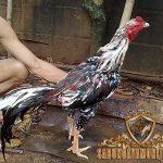 ciri khas, kelebihan, ayam bangkok, blorok madu tembus, ayam aduan, ayam petarung