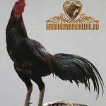 ayam bangkok jragem, ayam aduan, ayam petarung, jenis ayam bangkok, kelebihan, ciri khas, jragem, hitam