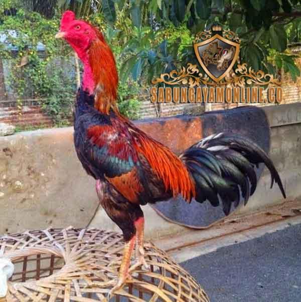 ciri ayam aduan, pukulan keras, ayam petarung, ayam bangkok, ciri khas, kelebihan, fisik